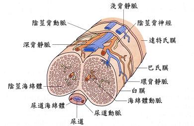陰莖靜脈截除手術